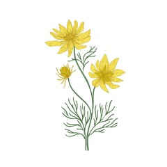 Pheasant's eye flowers hand drawn on white background. Natural drawing of perennial plant or meadow flowering herb used in phytotherapy or herbal medicine. Vector illustration in antique style.