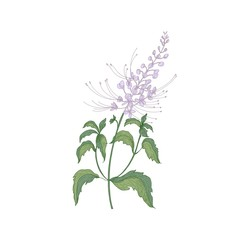 Java tea tender flowers or inflorescences, stems and leaves isolated on white background. Beautiful wild flowering herb used in herbalism. Realistic hand drawn vector illustration in vintage style.