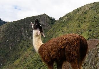 Llama at Machu Picchu archaeological site , Cuzco, Peru