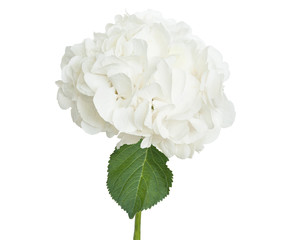 White hydrangea on white