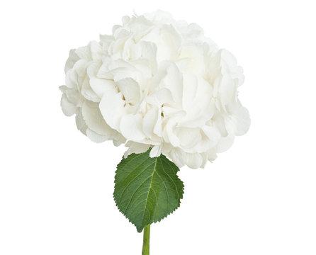 White hydrangea on white