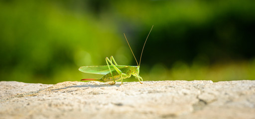 Green grasshopper or locust close up on outdoor terrace.