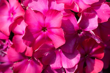 Color outdoor floral macro petals of a red phlox blossom with natural blurred background taken on a sunny summer day