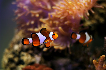 Clown Fish - The most popular saltwater fish in the world