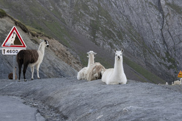 A herd of Llamas on the famous tour de France site, Col du Tourmalet , escaped from a camping site where they were used as lawnmowers in 2015