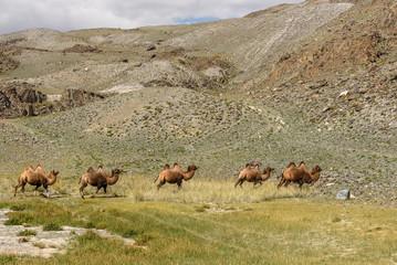 camels herd graze mountains