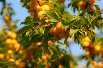 Lots of ripe, orange mirabelle plums between the green leaves of the tree.