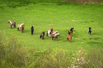 Pony herd on a green field
