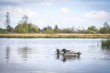 Ducks in a river in idyllic nature in the spring