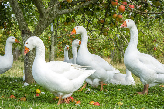 White geese under an apple tree
