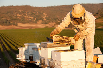 Beekeeper working with hives in Napa Valley at sunset