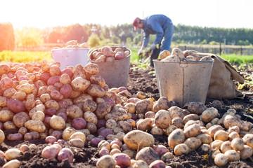 Fototapeta Potato field harvest obraz