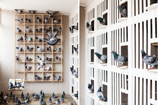 Racing Pigeons gather together in their loft