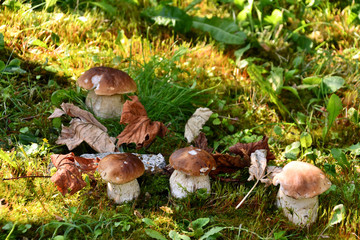 Famiglia di funghi porcini, cresciuti nel prato.