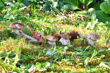 Freschi funghi porcini, cresciuti nel prato