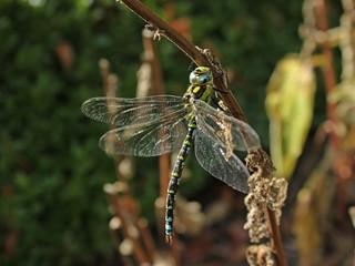 Männliche Blaugrüne Mosaikjungfer (Aeshna cyanea)