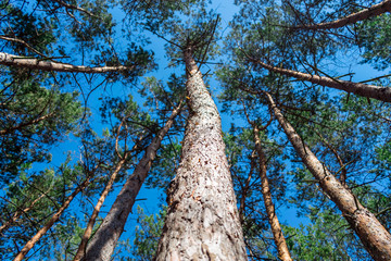 Bottom view of tall old pine trees in evergreen primeval forest with Blue sky in background. Pine forest trees background. Pine trees trunks bottom view. Pine forest trees sunlight