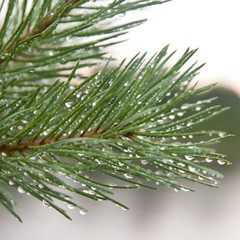 pine needles with water drops close-up
