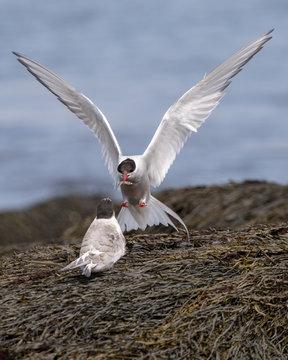 Arctic Tern feeding yound off Machias Seal Island, Canada