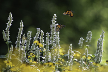 Monarchs on Blazing Star