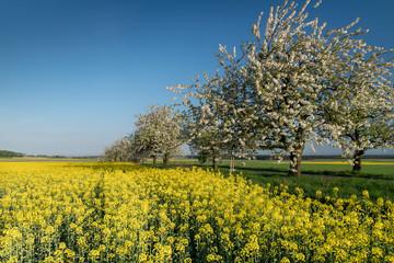 kwitnące pola rzepaku i kwitnące drzewa czereśni przy drodze