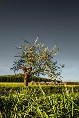 kwitnące drzewa czereśni wiosną