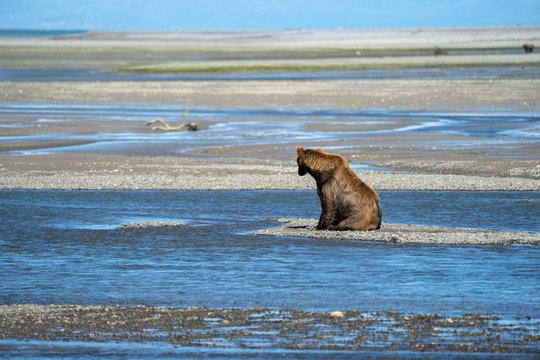 Alaskan Coastal Brown bear sits on a sandbar looking for fish to eat in Katmai National Park