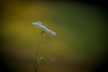 kwiat dzikiej marchwii