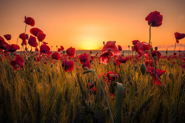 Beautiful poppies in a wheat field on sunrise