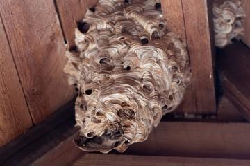 European hornet (Vespa crabro) nest.