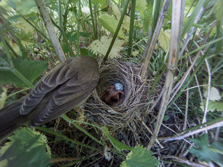Acrocephalus palustris. The nest of the Marsh Warbler in nature. Common Cuckoo