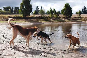 Three dogs playing on a farm