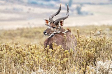 Dominant male Mountain Nyala in the Bale Mountains National Park in Ethiopia Wall mural