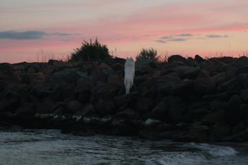 white dog climbs up the hill at sunset, dawn. Big white wolf. Samoyed