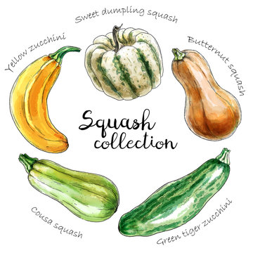 Set of different colored squashes. Hand drawn graphic. Digital watercolor. Sketch style.