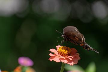 Butterfly on pink flower macro