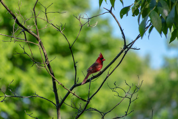 Red cardinal on tree branch in nature