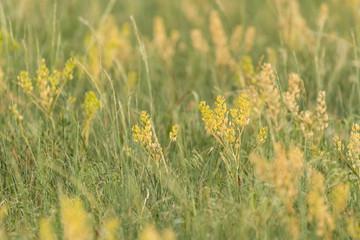 Detail of Yellow Wheat Grass