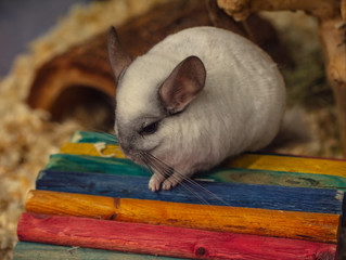 chinchilla pauses for a picture