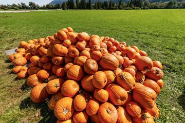 Harvest of Orange Pumpkins - Bavaria Germany