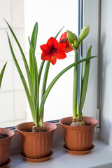 Potted amaryllis bulbs on window sill, blooming red hippeastrums in spring time, decorative houseplants with beautiful flowers