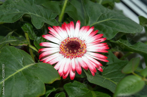Close Up Of Gerbera White Flower With Pink Tips Blooming On Window Sill Por Ornamental