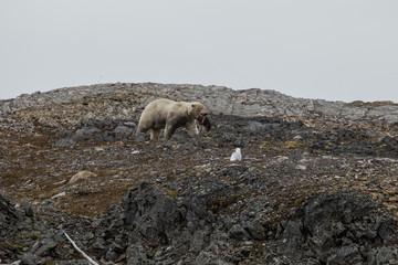 A polar bear eating small reindeer.