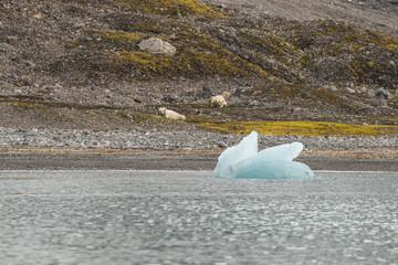 Male polar bear ion Svalbard.