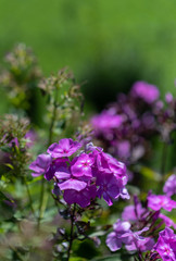 Color outdoor floral macro of violet phlox blossoms on natural blurred green background on a sunny summer day