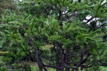 台風で枝先が曲がった松の木