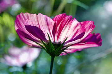 multicolored bright flower of the cosmos sunlit