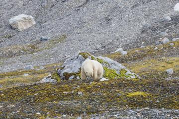 Male polar bear on Svalbard