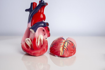 Cross section of Isolated model of an internal human heart on white background.