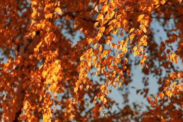 Deurstickers Rood paars Red leaves on birch trees in autumn